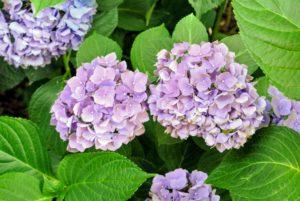 For the first year or two after planting and during any drought, be sure hydrangeas get plenty of water. The leaves will wilt if the soil is too dry.