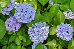 Hydrangeas are long-lived, and extremely vigorous specimens that offer lavish and varied blooms. The most common garden hydrangea shrub is the Bigleaf mophead variety, Hydrangea macrophylla.