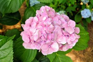 The secret to its color is in the soil, or more specifically, the soil's pH level. Adjusting the measure of acidity or alkalinity in the soil can influence the color of the hydrangea blossoms. Acidic soils tend to deepen blue shades, while alkaline environments tend to brighten pinks.