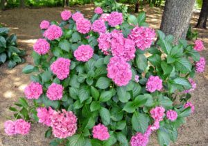 Hydrangea shrubs will tolerate partial shade but prefer full sun.