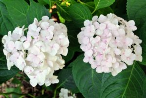 I love these mostly white hydrangeas. The blooms resemble large snowballs - these with a hint of pink.