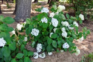 Hydrangea blooms are so striking against their bold green leaves.