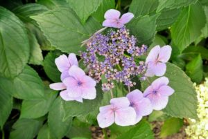 In addition to the mopheads, there are also hydrangeas that bloom in lovely lacecaps.