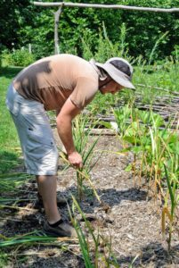 And now, Ryan is picking all the wonderful garlic bulbs. Ryan waited for a dry day to harvest - this allows the soil to dry out, helps to prevent rot, and makes it much easier to pull the stalks and bulbs from the ground.