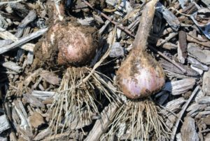 Some bulbs have reddish-brown skins, while others have white. This entire crop looks very good.