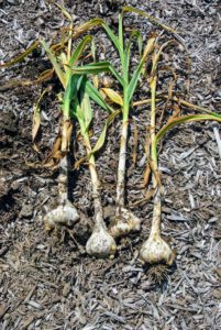 The leaves and roots can be left intact during the curing process. The bulb continues to draw energy from the leaves until all the moisture evaporates.