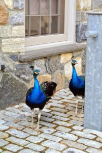 Even the peacocks are curious to see what's happening in the carriage house.