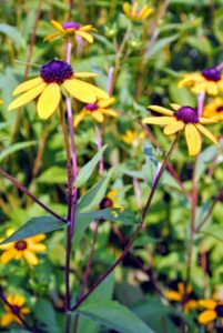 These are the showy flower heads of rudbeckia. Rudbeckia's bright, summer-blooming flowers give the best effect when planted in masses. Rudbeckias are relatively drought-tolerant and disease-resistant. Flower colors include yellow and gold, and the plants grow two to six feet tall, depending on the variety.