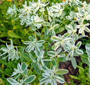 Euphorbia marginata is a small annual in the spurge family. It is commonly called snow-on-the-mountain, and is a warm-weather annual native to prairies from Minnesota and the Dakotas to Colorado and Texas.