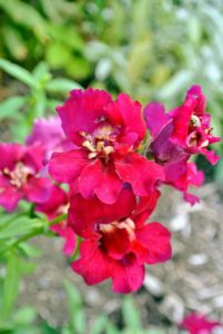 Many snapdragons come in more vibrant bold tones, such as this red, while others are soft pastels or subtly shaded bi-colors.