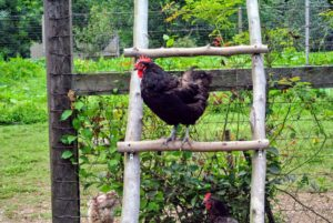 Chickens prefer to roost on high levels. In their fenced enclosure, the chickens are provided ladders and natural roosts made out of felled trees. As you can see, my chickens are very happy birds, including this Black Copper Marans.