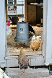 On the left of the doorway is a rooster keeping watch over the hens in this coop. Hanging feeders are filled with organic layer feed. It provides the hens with protein, which helps them lay strong and healthy eggs.