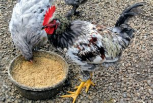 I've raised many different chicken breeds and varieties over the years - they are all so beautiful to observe. I am fascinated by their many colors and feather patterns.