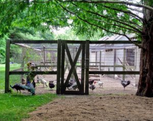This is a view of my chicken yard. I have several coops that are shaded on one side for hot, humid days. All the coops are locked tight at night to keep predators out. The top is also netted, making the chicken area very, very safe.