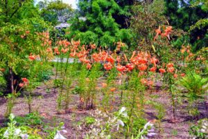 These tiger lilies popped up in their original bed, now called the Stewartia garden.