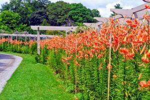 And finally, this was the pergola yesterday - look at all the gorgeous tiger lilies.