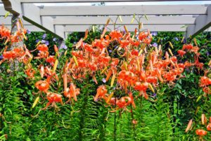 Native to China and Japan, these robust flowers add striking beauty to any border. I love how they look with their bright and showy orange colored blooms.