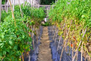 Most tomato plant varieties need between 50 and 90 days to mature. Planting can also be staggered to produce early, mid and late season tomato harvests.