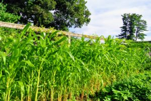 The group also looked at the corn - these stalks are more than five feet tall.