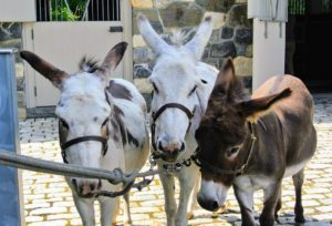My donkeys, Billie, Clive and Rufus, are groomed every day, and bathed every couple of weeks during the summer. During winter, they're bathed once every four to six weeks.