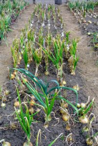 We've had so many onions this season - look at our crops, there are still so many more to pick.