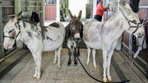 Donkeys are herd animals, so they don't like being separated from other members of their pack. We always keep my donkeys together. On this day, as each one is bathed, the other two stand nearby.