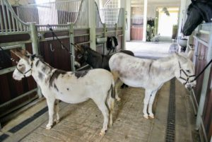 For bath time, the donkeys are secured to the stall gates near the shower. All three donkeys are very well-behaved, and very patient.