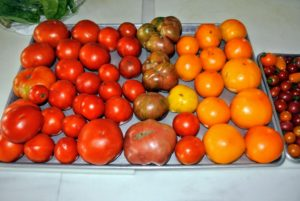 Here are some of the tomatoes Ryan just picked - fresh off the vine, and on to large trays on my kitchen counter.