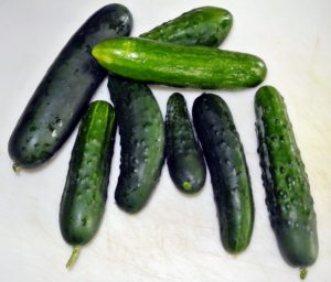 Here are some cucumbers, Cucumis sativus. Cucumbers are grown mainly to be eaten fresh, and in India, you'll often find sliced cucumbers being sold on the street on sunny afternoons. The flesh of cucumbers is rich in vitamins A and C, and folic acid.