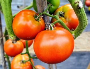 """Grandeur"" tomatoes are early, red oblate-shaped cluster tomatoes with five to seven fruits per bunch. They're about six to nine-ounces each and are very meaty."