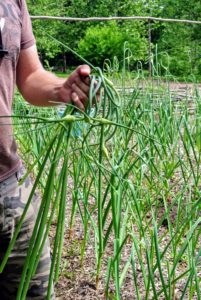 Scapes are delicious and can be used just like garlic. Ryan cut the scapes in late June when the center stalks were completely formed and curled ends were growing above the rest of the plants.