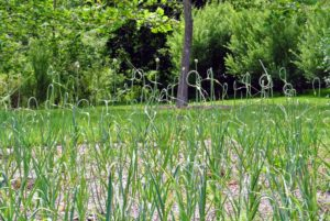 Just several weeks ago, this patch was still very green and filled with garlic scapes.