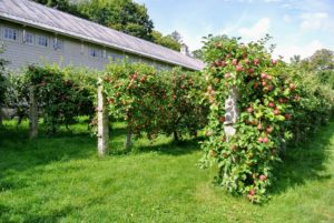 This dwarf apple orchard is just behind my long carport and flower room. Father Legendre of Hannonsville, France is credited with pioneering the espalier growing method in 1684. Because sunlight reaches every piece of fruit that these trees bear, espalier pruning continues to be a standard procedure at commercial orchards in France.