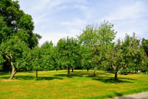 This stand of apple trees is near what I call my Contemporary House, which is currently used for storage. This is one of the larger groupings of apple trees here at the farm - all of them bearing tons of fruit.
