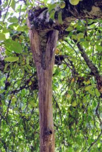 "Here is a closeup of a crutch supporting a heavy branch of this apple tree. The natural ""V"" shaped notch in the trunk is perfect for this purpose."