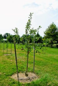 "In a field next to my new swimming pool, I planted a new orchard of fruit trees - lots and lots of fruit trees. This young tree bears 'Fuji' apples. Fuji apples originated as a cross between two American apple varieties—the Red Delicious and old Virginia Ralls Genet, sometimes seen as ""Rawls Jennet"" apples. It is one of the top most popular varieties in the country."