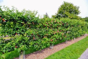 Across the carriage road are my Malus 'Gravenstein' espalier apple trees. I love this crisp and juicy apple, an antique variety, which is wonderful to eat and great for cooking and baking.