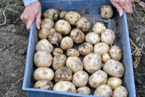 Never wash potatoes until right before using – washing them shortens the potato's storage life.