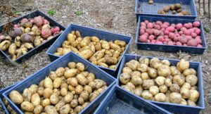 All the trays of potatoes are ready to go up to my flower room, where they will be stored until ready to cook.