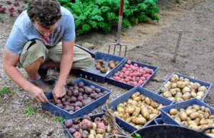 Ryan looks through the trays of potatoes to ensure all of them are organized properly.