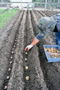 You may recall, we planted our potatoes in the last week of May. The best time to plant is when the soil has dried enough to be workable. They do best as rotation crops, and should be placed away from where potatoes, tomatoes or peppers were grown in the last two years.