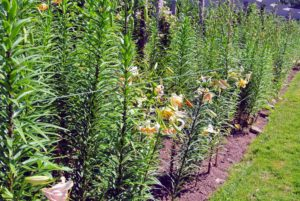 By late June, some of the stems were already about four-feet tall.