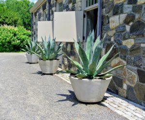 This year, we placed potted agaves on the back side of my stable. Agaves are exotic, deer-resistant, drought-tolerant plants that can live happily in containers.