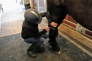 It doesn't take Sarah long to put them on one of the Friesians. These boots provide extra padding and Welltex therapy for the horse's hocks.