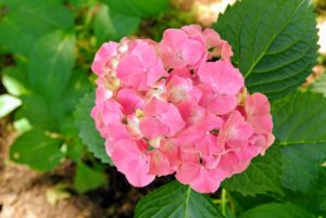 Hydrangea is a genus of at least 70-species of flowering plants native to southern and eastern Asia and the Americas. By far the greatest species diversity is in eastern Asia, notably China, Japan, and Korea.