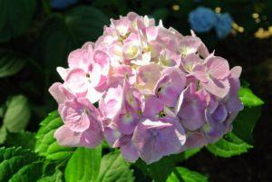 Here is a light pink hydrangea bloom.