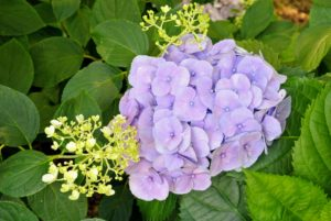 Blue, pink and purple are the most common colors seen in mophead varieties.
