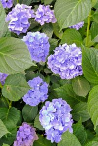 Hydrangeas produce a glorious show from mid-summer until fall.