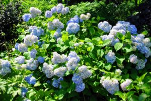 What hydrangeas are growing in your garden - let me know in the comments section below. I love hearing from all of you.