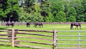 I'm so excited to see my dear horses and to ride along the carriage roads of Acadia National Park. The only thing left to do - get Ramon and Rinze, my beautiful Friesians. Come on boys...